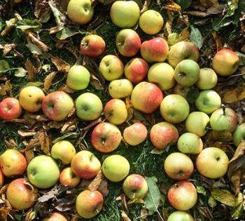 Apple pressing to make apple juice fallen apples